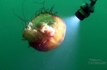 ANTIPODES 16 Jellyfish at Depth